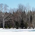 Birch And Evergreen by William Tasker