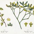 Birch And Mistletoe by Matthias Trentsensky
