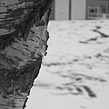 Birch Bark And Snow In Black And White by Katie Beougher