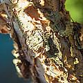 Birch Bark by Nicole Parks