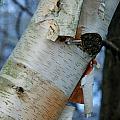 Birch Bark Study No.1 by Janice Adomeit