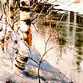 Birch By Stream by Teresa Ascone