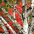 Birch Eclipsing Maple by Doris Potter