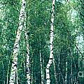 Birch Forest - Green by Hannes Cmarits