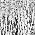 Birch Forest by Alana Ranney