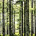 Birch Forest Fractal by Weston Westmoreland
