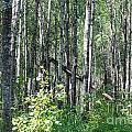 Birch Forest by Mark McReynolds
