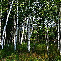 Birch Grove In The Sunlight by Michelle Calkins