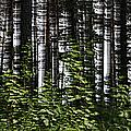 Birch Illusion by Dreamland Media