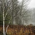 Birch In Winter by Fran Gallogly