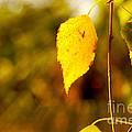 Birch Leaves by Dariusz Gudowicz