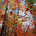 Birch Maple Autumn by Cascade Colors