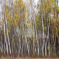 Aspen Trees At Lake Maria State Park Minnesota by Patti Deters