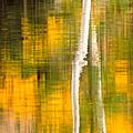 Birch Reflections by Jeff Sinon