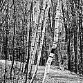 Birch Sentinels by Kristen Fox