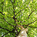 Birch Tree by Crystal Fudge