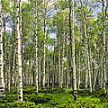 Birch Tree Grove In Summer by Randall Nyhof
