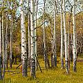 Birch Tree Grove No. 0126 by Randall Nyhof
