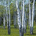 Birch Tree Grove No. 0133 A Fine Art Photograph by Randall Nyhof