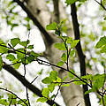 Birch Tree In Spring by Elena Elisseeva