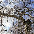 Birch Tree  by Julia Gavin