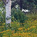 Birch Tree by Stephanie Hanson