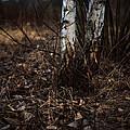 Birch Trees by Alyaksandr Stzhalkouski