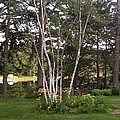 Birch Trees by Catherine Gagne
