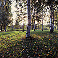 Birch Trees, Imatra, Finland by Panoramic Images