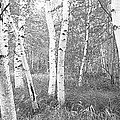 Birch Trees In A Forest, Acadia by Panoramic Images