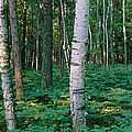 Birch Trees In A Forest by Panoramic Images