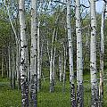 Birch Trees In A Grove No. 0148 by Randall Nyhof