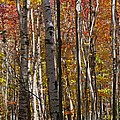 Birch Trees In Autumn by Juergen Roth