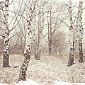 Birch Trees In The Snow. Winter Poems by Jenny Rainbow