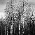 Birch Trees by Lindsey Weimer