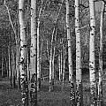 Birch Trees No.0148 by Randall Nyhof