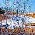 Birches And Cattails by Steve Harrington