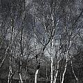 Birches by Christopher Rees