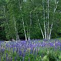 Birches In The Blue Lupine by Wayne King
