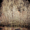Birches In Winter by Silvia Ganora