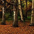 Birches by Olga Zvereva