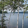 Birches On Sunapee by Georgia Hamlin