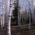 Birches by Skip Willits