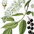 Bird Cherry Cerasus Padus Or Prunus Padus by Anonymous