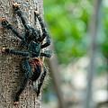 Bird-eater Tarantula / Tarantula Comedora De Aves by Daniel Castillo