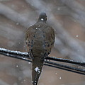 Bird In Snow - Animal - 01135 by DC Photographer