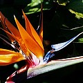 Grotto Bay Bird Of Paradise # 1 by Marcus Dagan