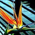 Bird Of Paradise by Bob Wall