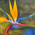 Bird Of Paradise by Darren Robinson