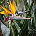 Bird Of Paradise  by Erika Weber